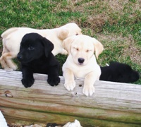 AKC Labrador Puppies For Sale